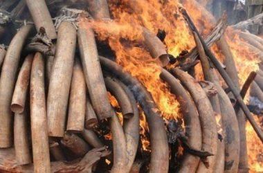 marfil-elefante-furtivo-comercia-ilegal