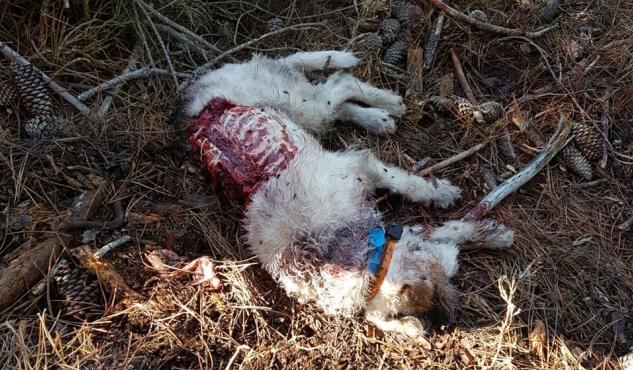 Perro de caza devorado por lobos en Galicia.