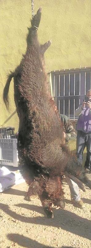 Jabalí de 120 kilos abatido en Vinaroz / María José Sánchez