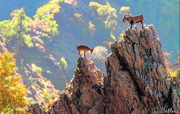 Cabra montés, macho y hembra, sobre picachos de Sierra Nevada / Ugo Mellone