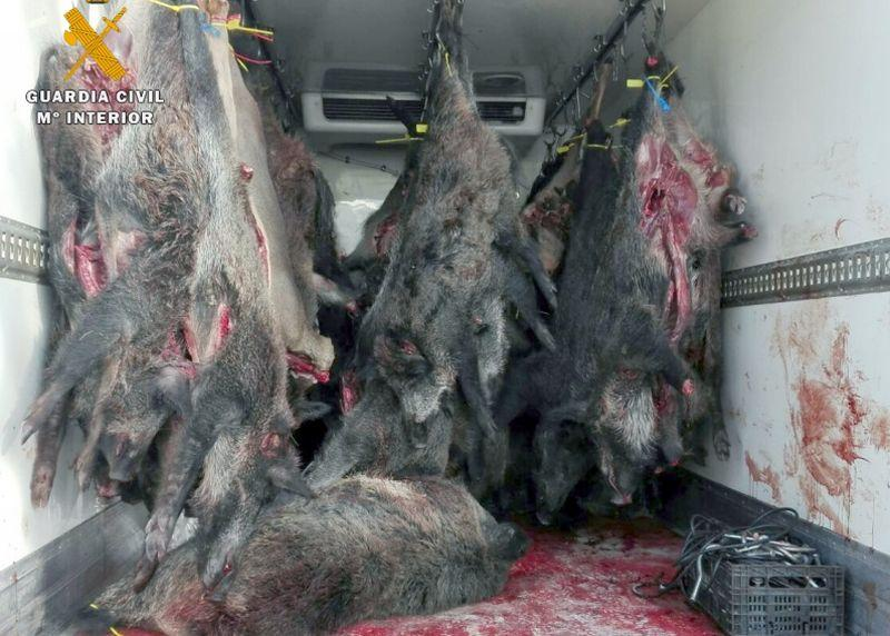 Jabalíes intervenidos en otra operación contra el comercio ilegal de carne de caza.