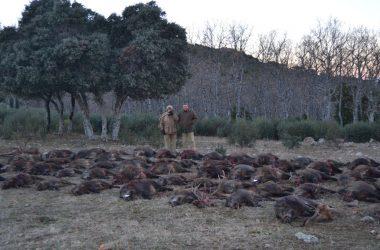 Plantel de jabalíes cobrados en la finca Magañas de Jaén
