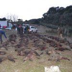 Plantel de reses cobradas en la montería celebrada en Jaén en la finca Magañas.