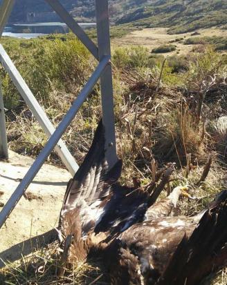 El águila hallada muerta en la base de la torreta eléctrica.