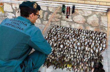 Un miembro del Seprona delante de las aves capturadas ilegalmente y de las herramientas empleadas para ello.