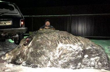 Jabalí gigante de 535 kilogramos cazado en Rusia.
