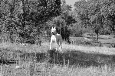 En la imagen, un perro de caza de raza podenco durante una montería.
