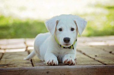 Un cachorro muy bonito, posa para la fotografía.