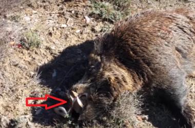 Grandes colmillos del jabalí abatido en este vídeo de caza.