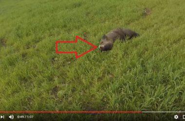 Este jabalí es abatido por un cazador y cuando se acerca descubre que tiene un colmillo gigante.