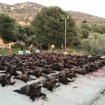 Plantel de jabalíes en Bastarás
