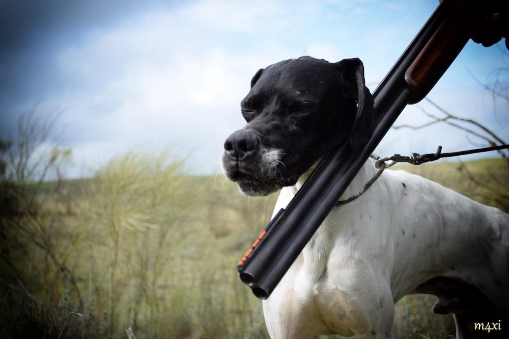 Fotografía de un pointer blanco y negro con una escopeta superpuesta.