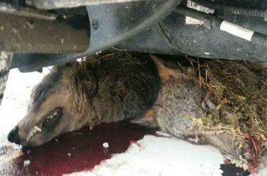 Lobo encontrado muerto en un aparcamiento de Arriondas.