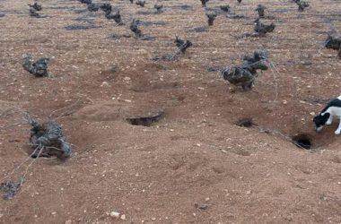 Terreno de viñas en las que abundan las madrigueras de conejo / ASAJA