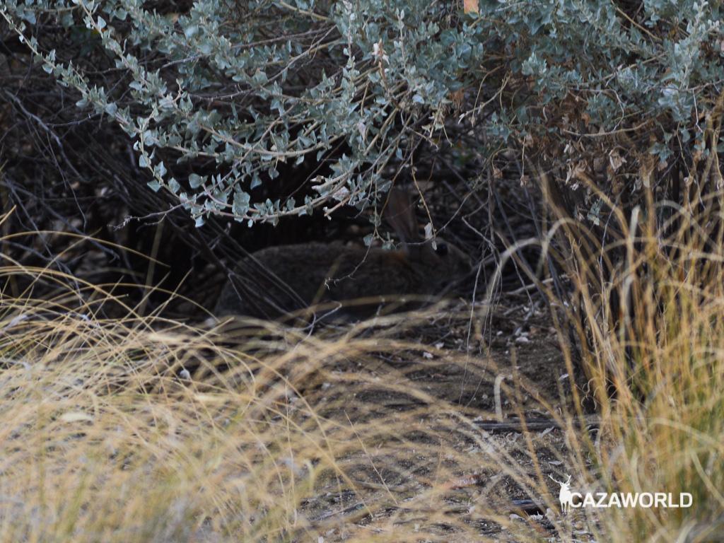 Un conejo de monte se esconde entre la maleza.