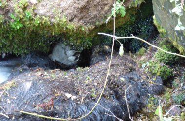 Oso hallado muerto en Cangas del Narcea.