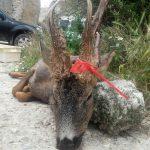 Un trofeo de corzo muy grande cazado en Zaragoza.
