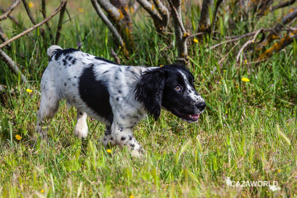 Springer spaniel cachorro de caza