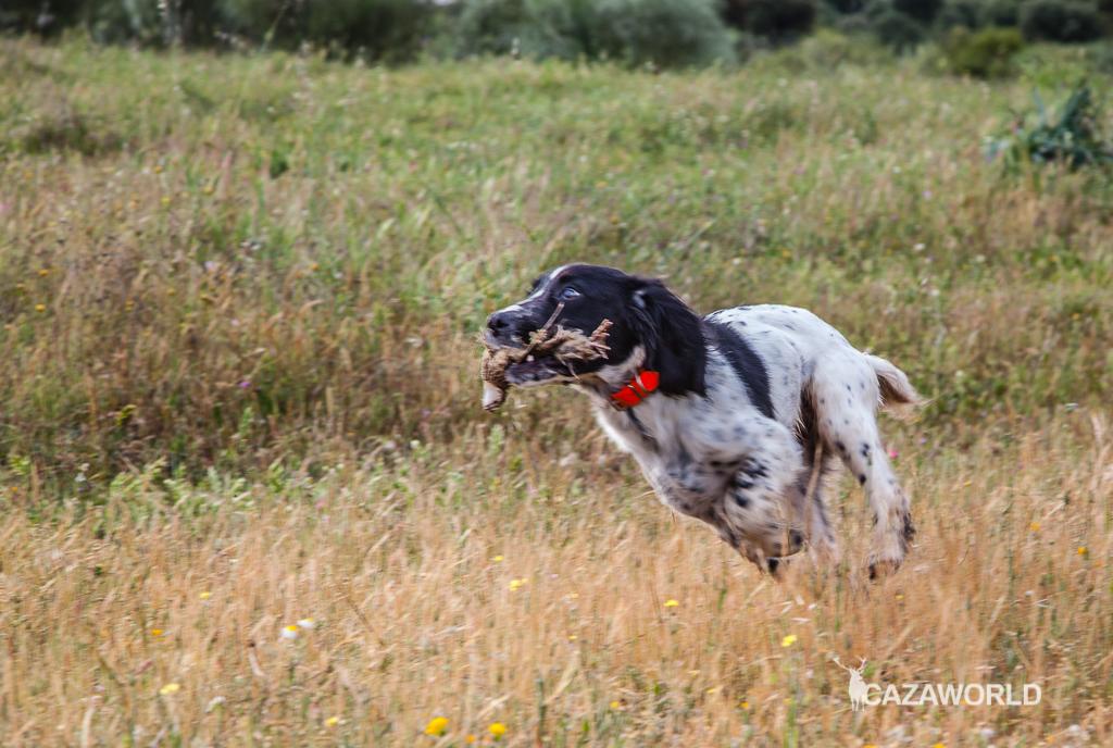 Iniciación del cachorro en la caza con piezas de granja springer cazador