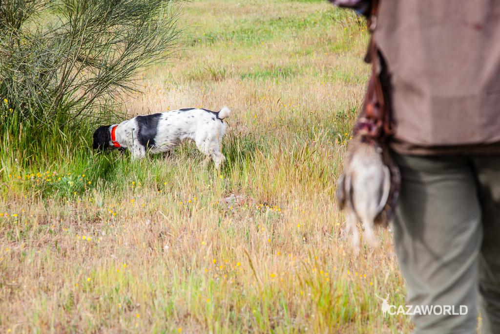 Iniciación del cachorro en la caza con piezas de granja 5 springer codorniz
