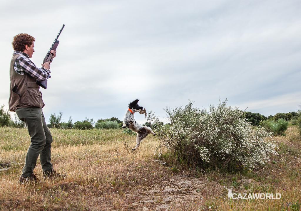 Iniciación del cachorro en la caza con piezas de granja 2 springer cazador
