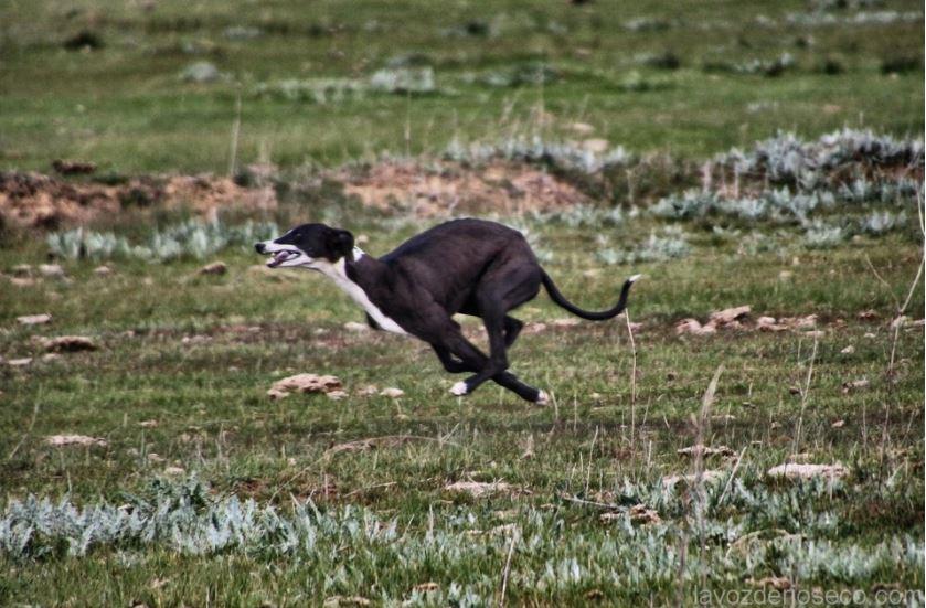 Galgo corriendo tras la liebre.