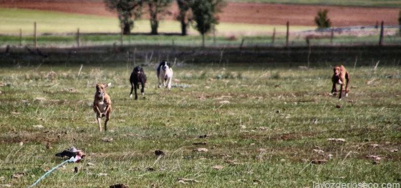 Galgos corriendo tras la liebre mecánica, una manera de entrenarse durante la veda en Medina de Rioseco.