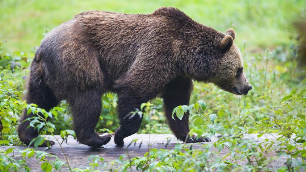 Fotografía de un oso pardo.
