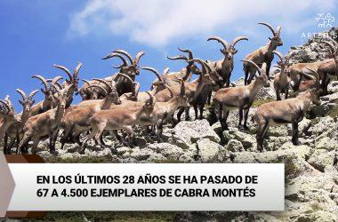 Fotografía de machos monteses en la Sierra de Guadarrama.