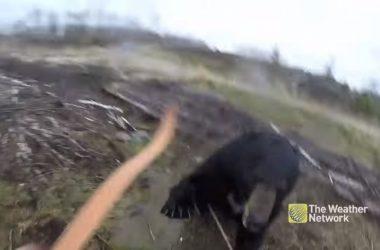 Un oso negro carga contra un cazador en Ontario, Canadá.