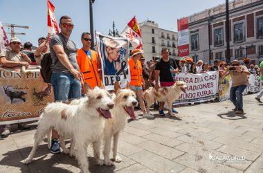 Unos podencos de rehala en la concentración de la caza en Madrid