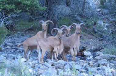 Cuatro arruís en Sierra Espuña. / Eusebio Navarra