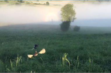Una codorniz levanta el vuelo a muestra de un setter.