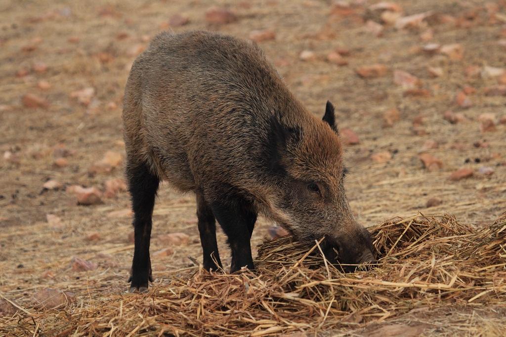 El jabalí es una especie de caza que es portadora de tuberculosis