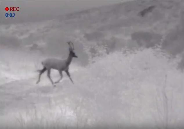 Captura del vídeo en el que se aprecia la cornamenta de un venado con el monocular térmico.