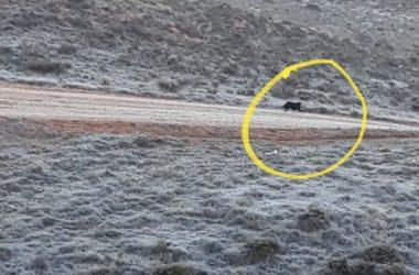 Última fotografía de la pantera de la Sierra Norte de Guadalajara.