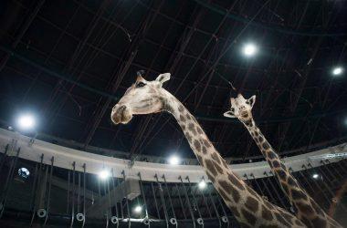 Imagen de dos jirafas expuestas en Cinegética 2018 pertenecientes a la colección de Manuel Requena.