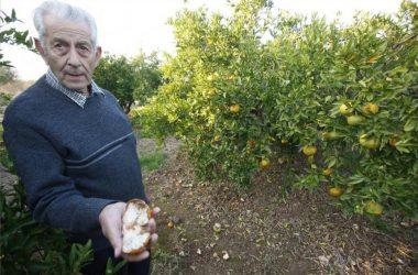 Agricultor con fruta comida por jabalíes