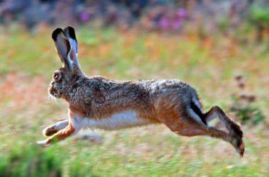 Liebre corriendo con orejas levantadas