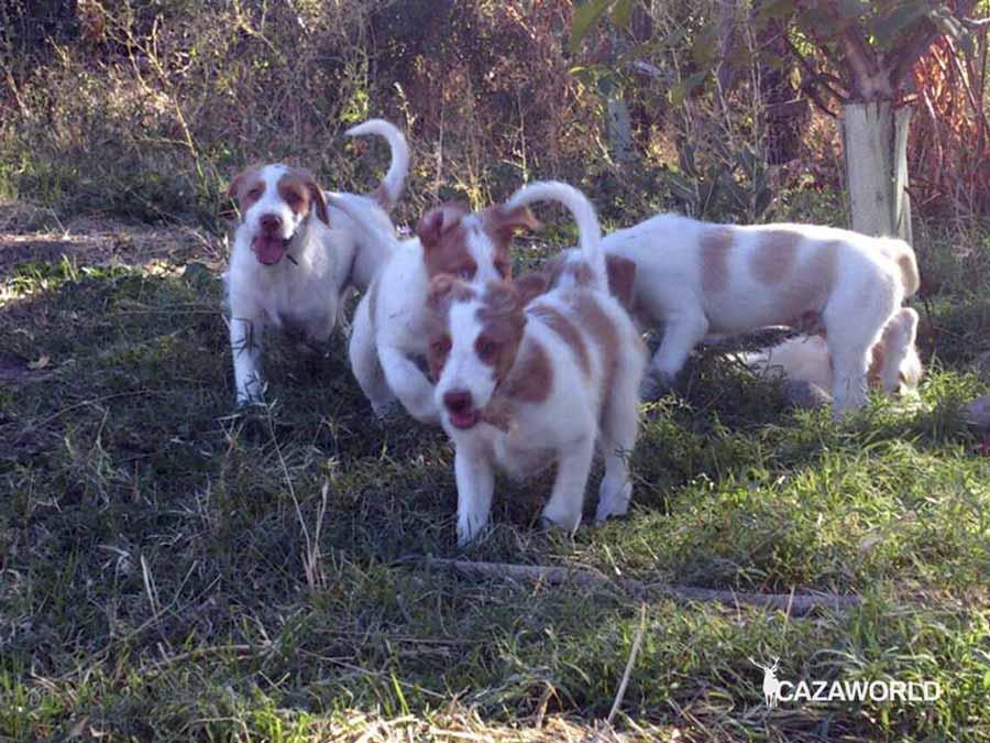 Cachorros de podenco talla grande campanero
