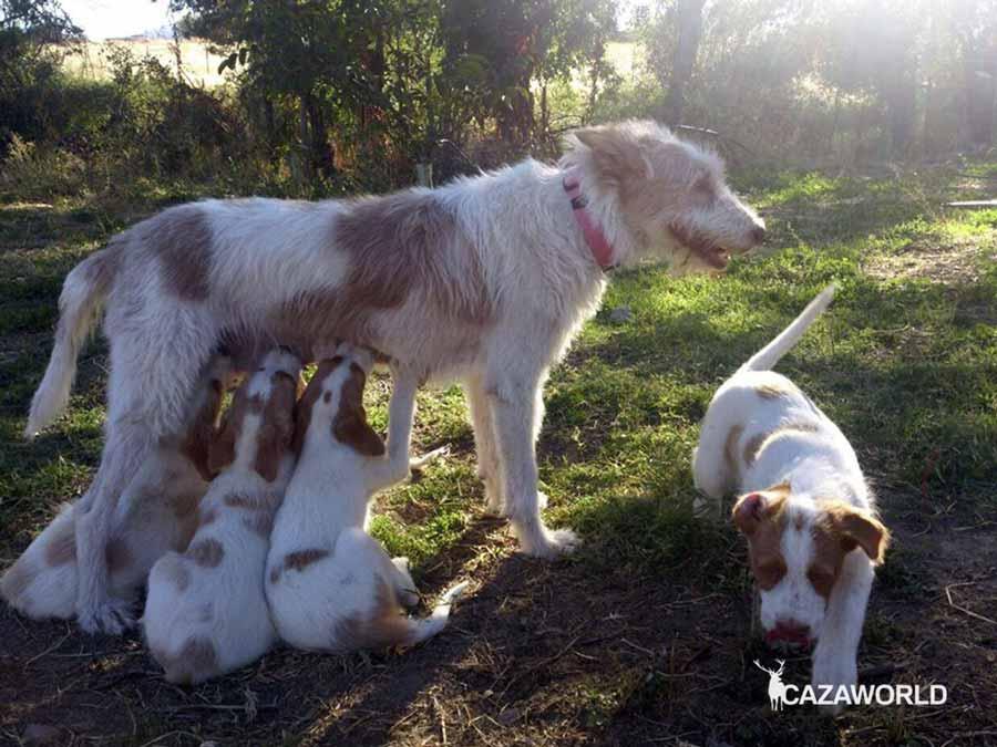 Cachorros de podenco talla grande mamando