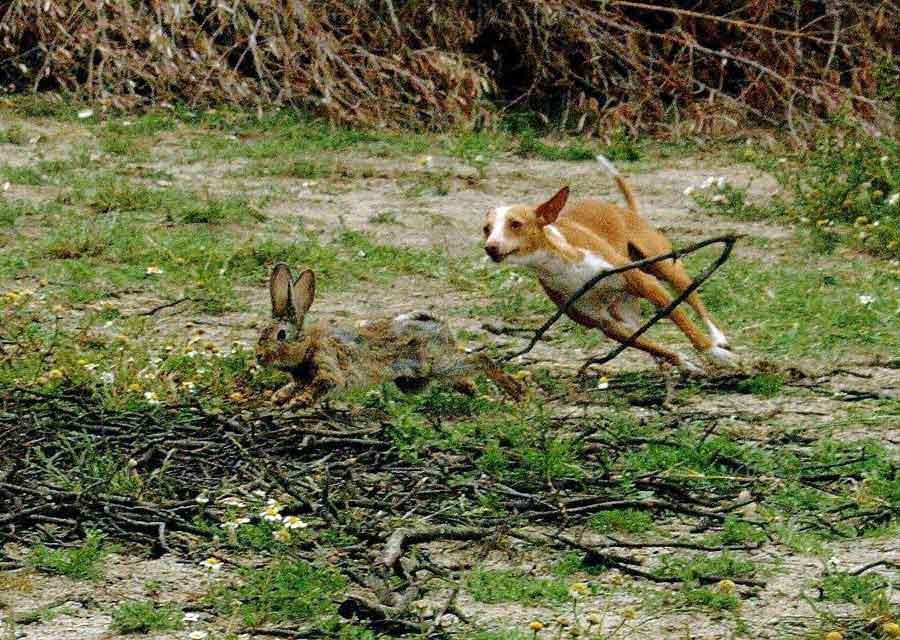 Podenco corre tras conejo en un picadero