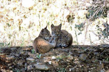 Dos de las crías de lince ibérico nacidas en libertad en CLM / JCLM