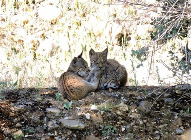 Dos de las crías de lince ibérico nacidas en libertad en CLM / JCCM