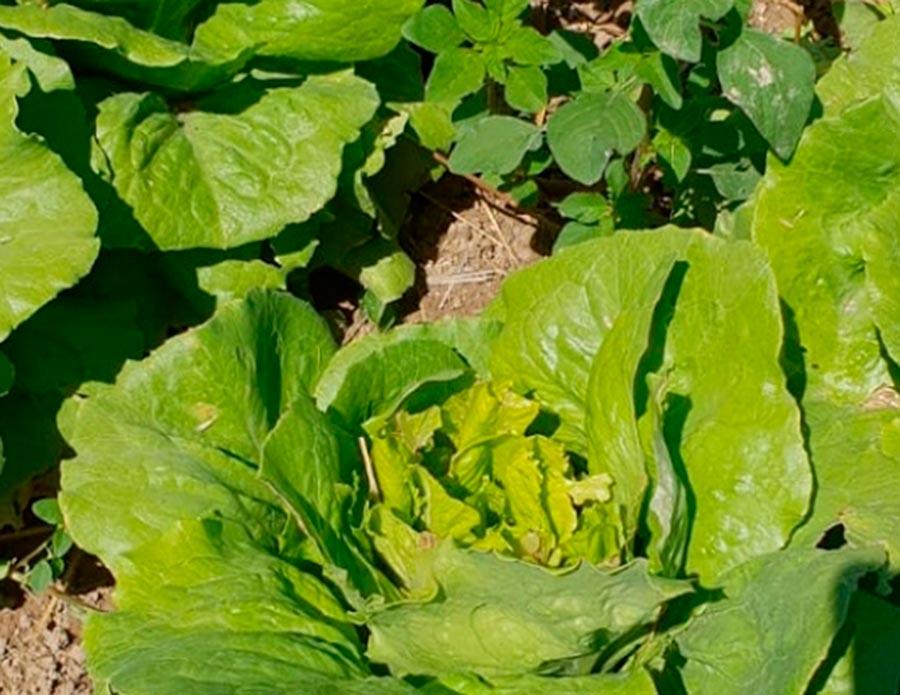 Lechuga de hoja larga comida por un corzo / Agronews CyL