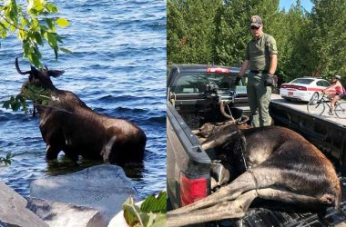 Un alce muere ahogado ante el acoso de turistas