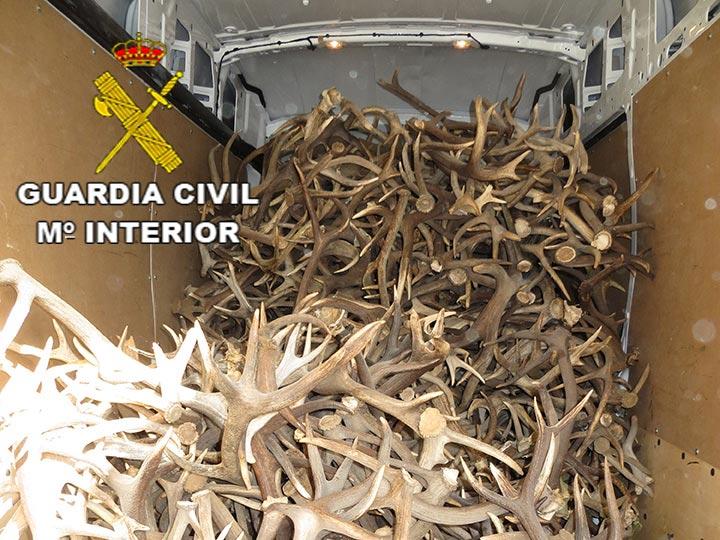 Desmogues de ciervo y gamo incautados en el marco de la operación Cervogues del Servicio de Protección a la Naturaleza (Seprona) de la Guardia Civil.