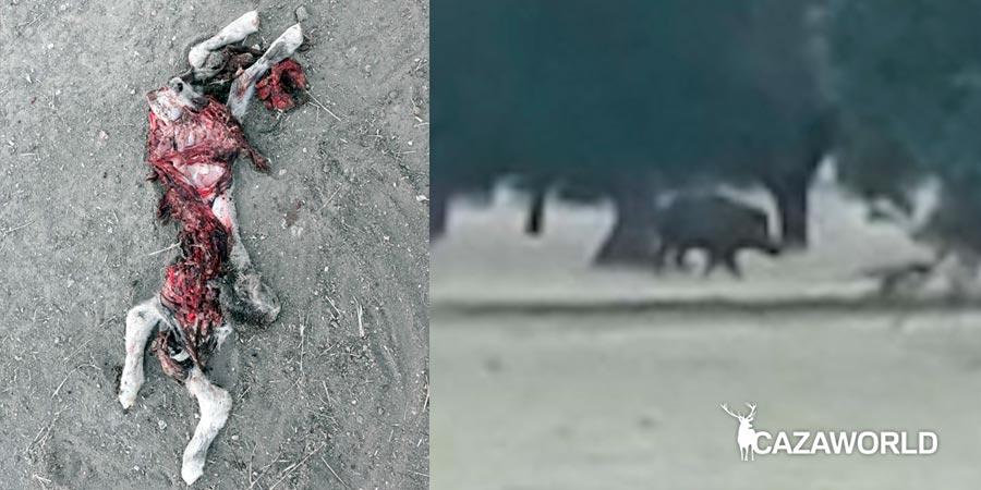 Jabali ataca ovejas