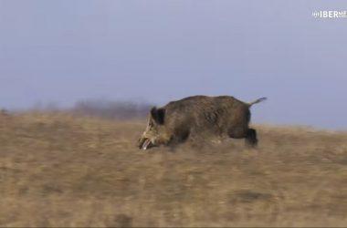 Gran jabalí grabado en Rumanía durante una batida de caza con Michel Coya.