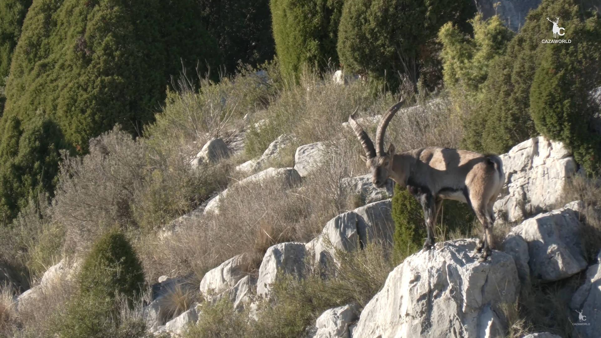 Macho montés de beceite subido a una peña en pleno celo, en Castellón.